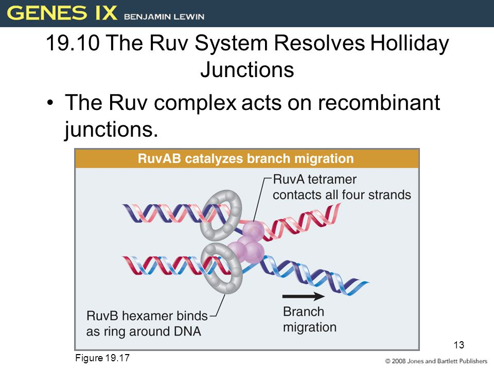 13 19.10 The Ruv System Resolves Holliday Junctions The Ruv complex acts on recombinant junctions.