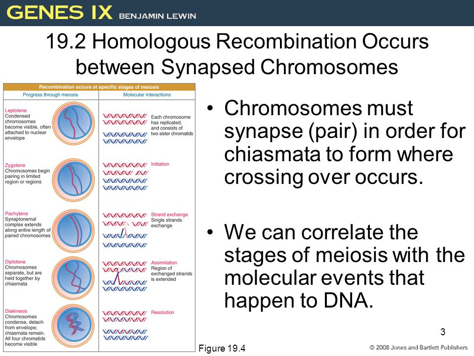 3 19.2 Homologous Recombination Occurs between Synapsed Chromosomes Chromosomes must synapse (pair) in order for chiasmata to form where crossing over occurs.