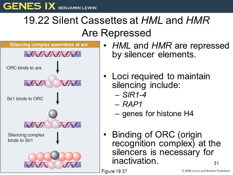 31 19.22 Silent Cassettes at HML and HMR Are Repressed HML and HMR are repressed by silencer elements.