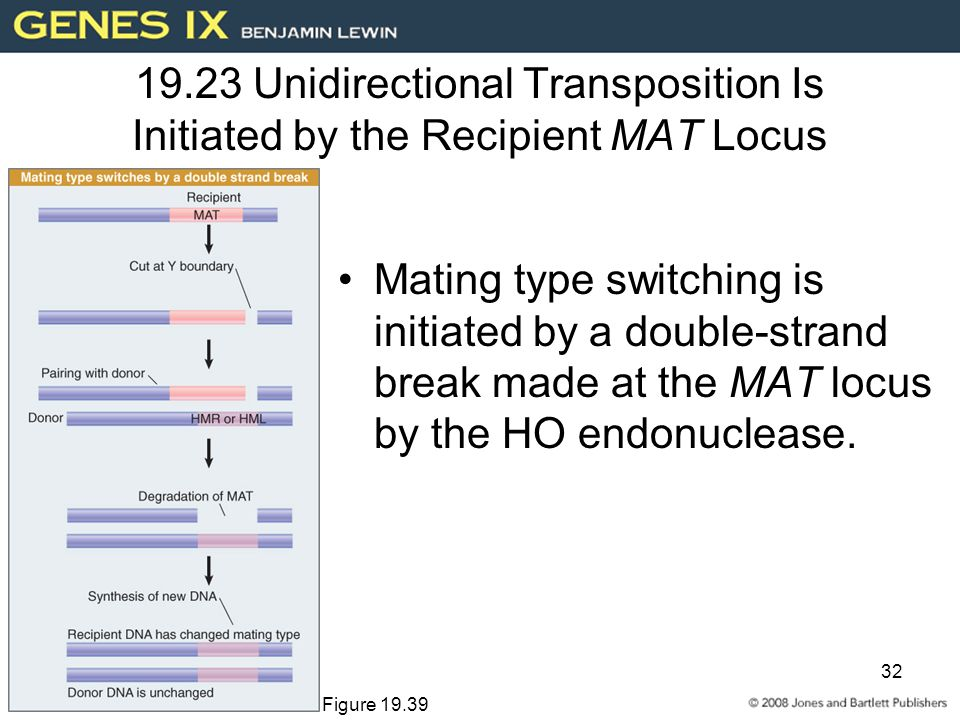 32 19.23 Unidirectional Transposition Is Initiated by the Recipient MAT Locus Mating type switching is initiated by a double-strand break made at the MAT locus by the HO endonuclease.