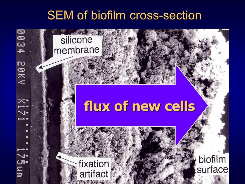 SEM of biofilm cross-section flux of new cells