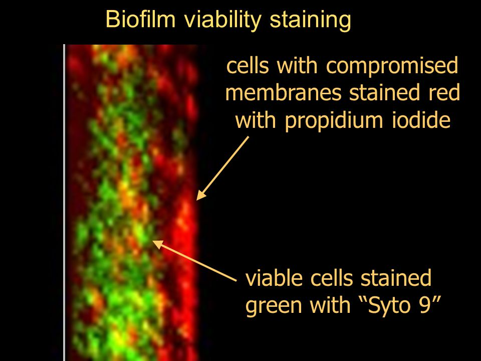 Biofilm viability staining cells with compromised membranes stained red with propidium iodide viable cells stained green with Syto 9