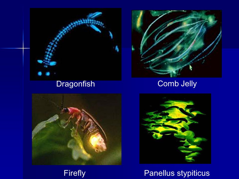 Dragonfish Comb Jelly Panellus stypiticus Firefly