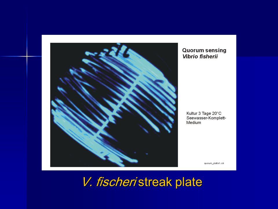 V. fischeri streak plate