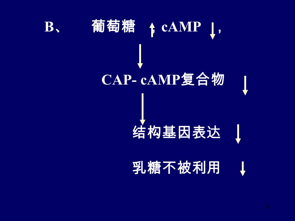 23 葡萄糖 cAMP , CAP- cAMP 复合物与启动子上 游 基因结合 高乳糖 低乳糖 乳糖与阻遏物结合 阻遏物与操纵基因结合 结构基因表达 结构基因表达抑制 乳糖利用 乳糖不被利用