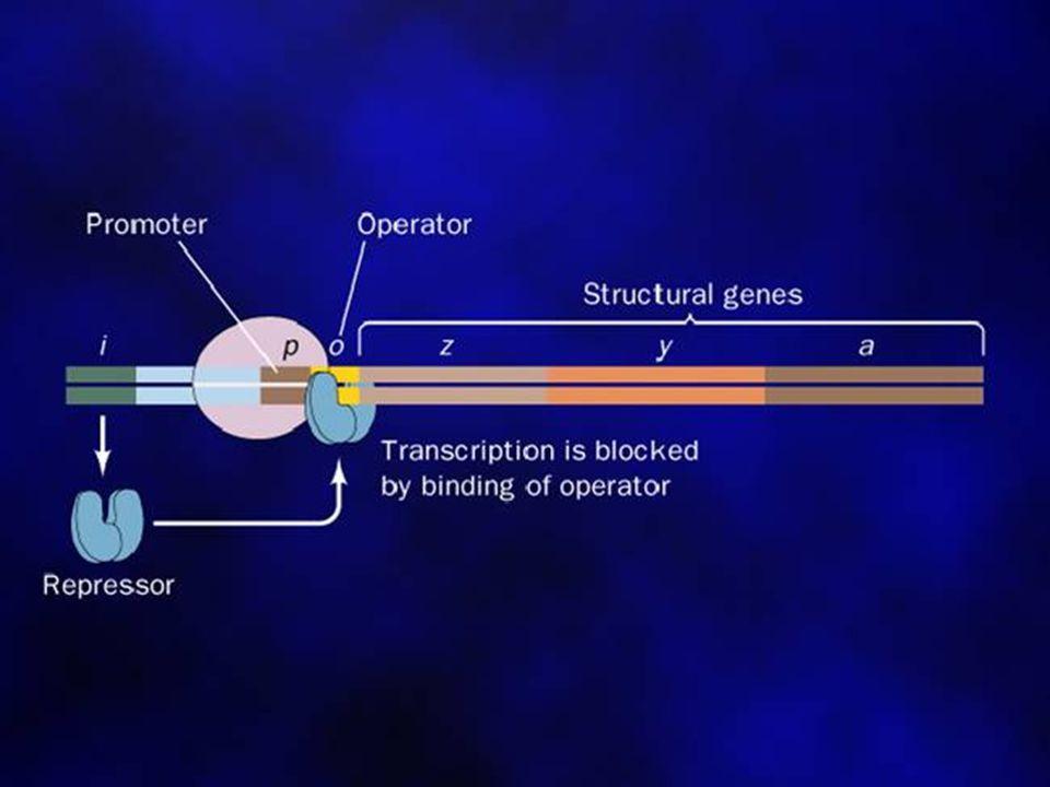 4 A.lactose operon (lac operon) a.concept of operon b.type of operon inducible operon repress operon