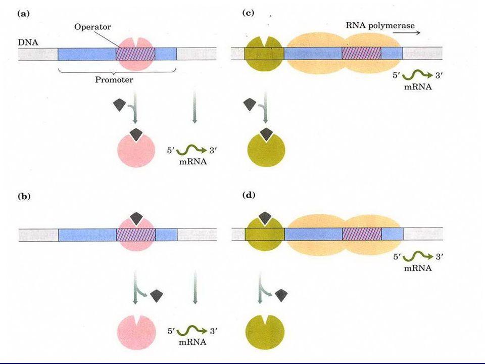 6 阻遏性蛋白 基因关闭 负调 调控区 激动蛋白 基因开放 正调
