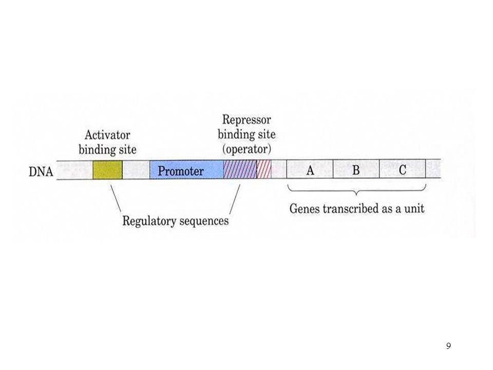 8 c. Structure of lactose operon * inducer of lac operon allolactose isopropylthiogalactoside (ITPG) * repressor of lac operon # formation # character