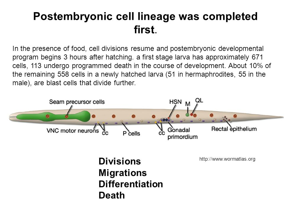 Postembryonic cell lineage was completed first. In the presence of food, cell divisions resume and postembryonic developmental program begins 3 hours