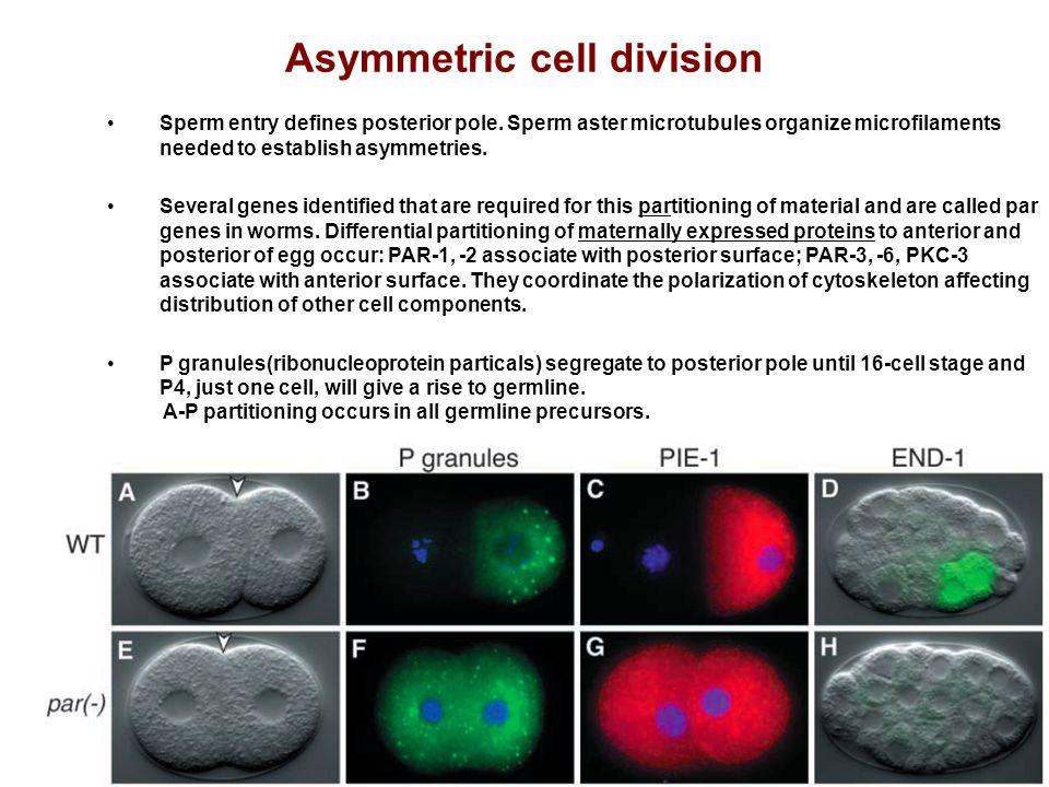 Asymmetric cell division Sperm entry defines posterior pole. Sperm aster microtubules organize microfilaments needed to establish asymmetries. Several