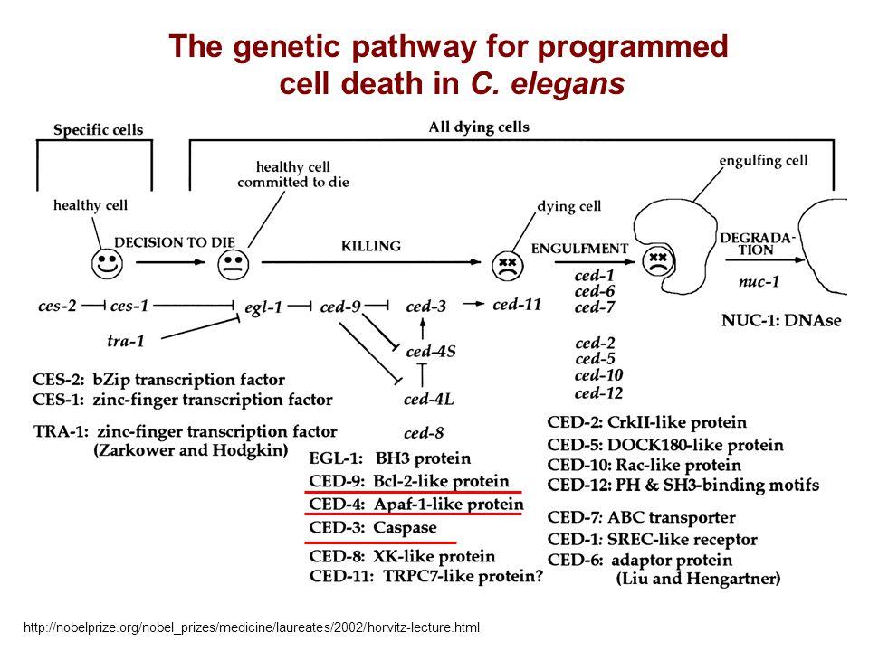 The genetic pathway for programmed cell death in C. elegans http://nobelprize.org/nobel_prizes/medicine/laureates/2002/horvitz-lecture.html