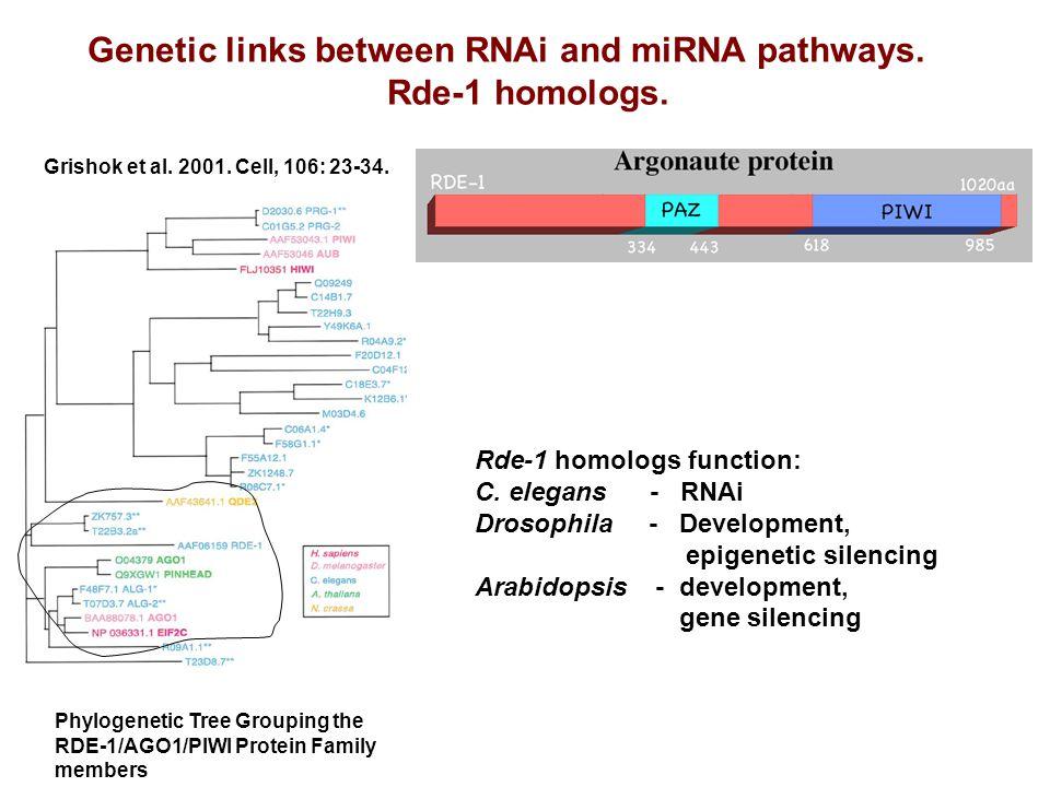 Genetic links between RNAi and miRNA pathways. Rde-1 homologs. Rde-1 homologs function: C. elegans - RNAi Drosophila - Development, epigenetic silenci