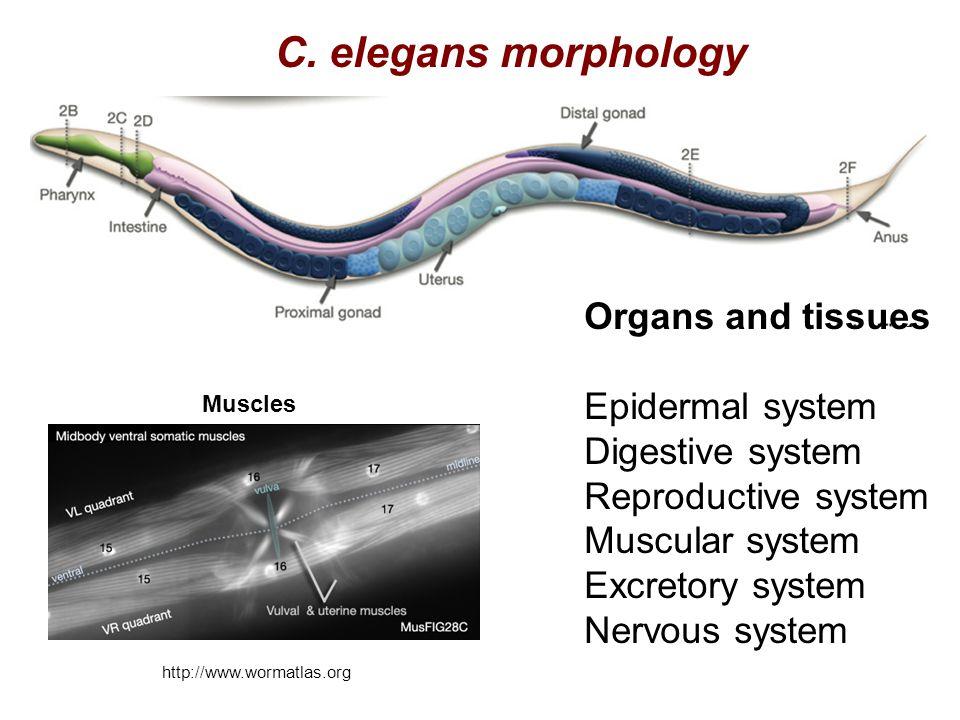 C. elegans morphology Organs and tissues Epidermal system Digestive system Reproductive system Muscular system Excretory system Nervous system http://