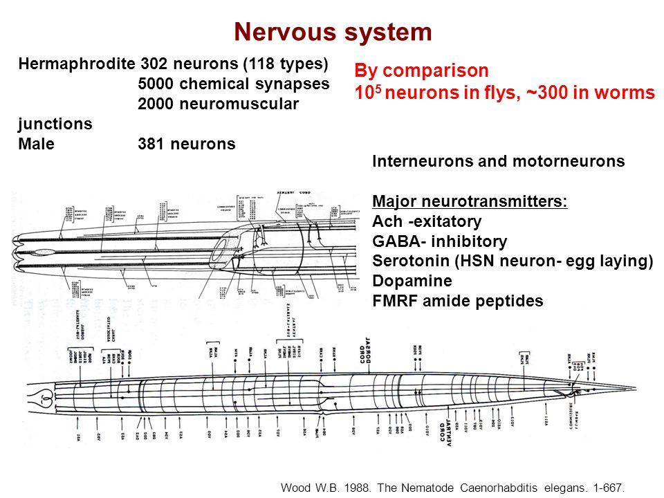 Nervous system Wood W.B. 1988. The Nematode Caenorhabditis elegans. 1-667. Hermaphrodite 302 neurons (118 types) 5000 chemical synapses 2000 neuromusc