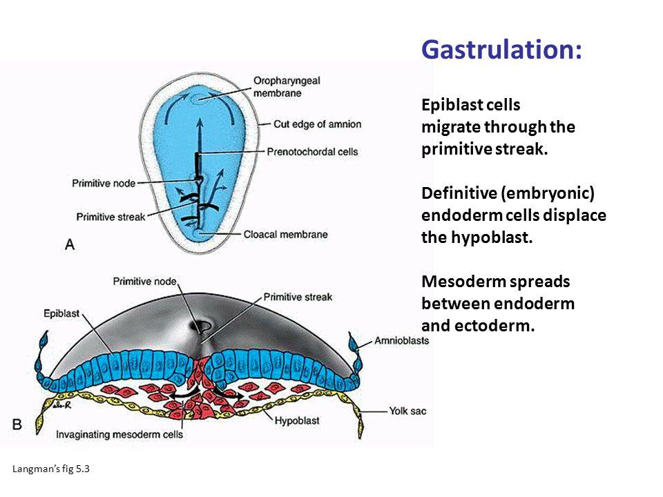 Gastrulation: Epiblast cells migrate through the primitive streak. Definitive (embryonic) endoderm cells displace the hypoblast. Mesoderm spreads betw