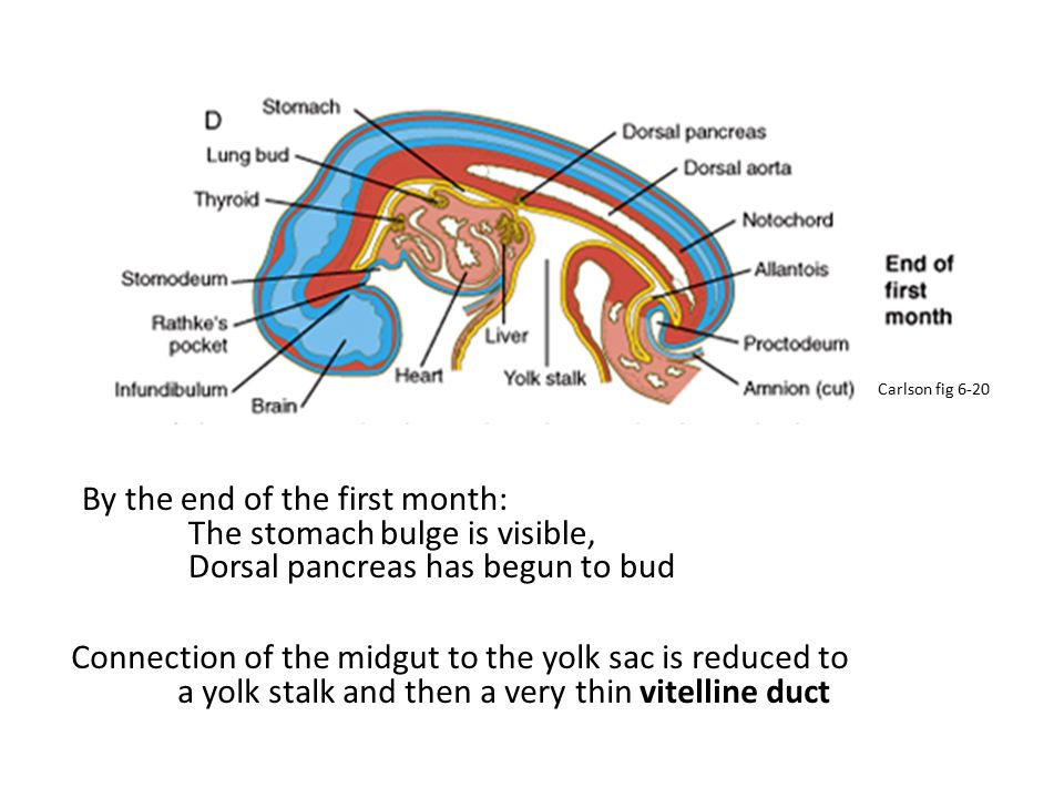 By the end of the first month: The stomach bulge is visible, Dorsal pancreas has begun to bud Connection of the midgut to the yolk sac is reduced to a