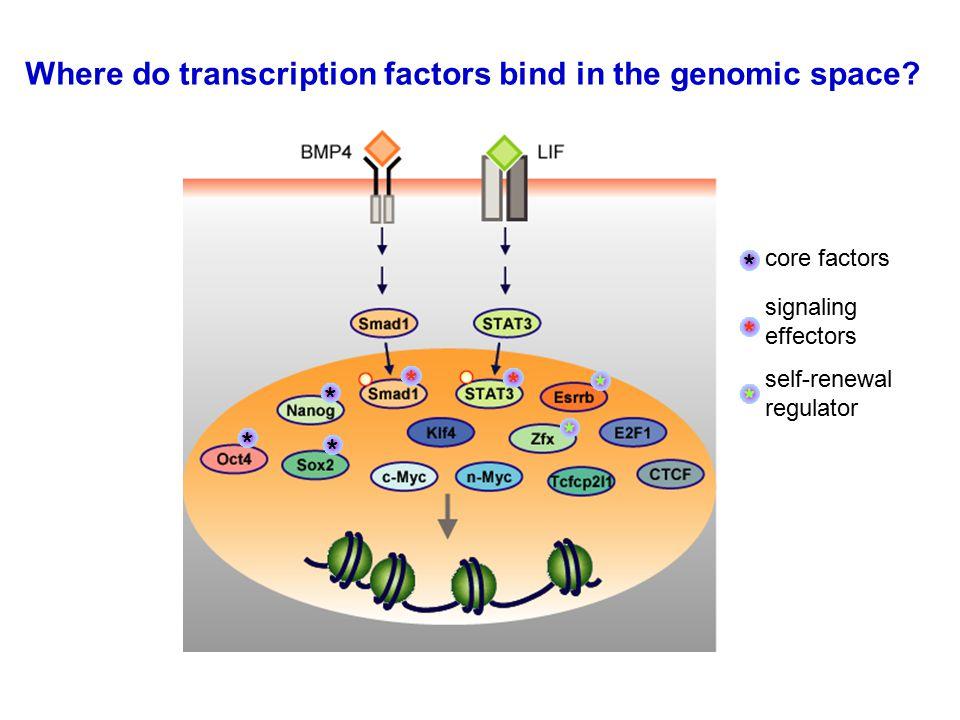 Where do transcription factors bind in the genomic space.