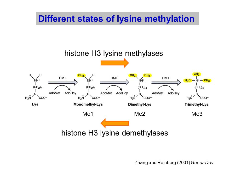 Zhang and Reinberg (2001) Genes Dev. Different states of lysine methylation Me1Me2Me3 histone H3 lysine methylases histone H3 lysine demethylases