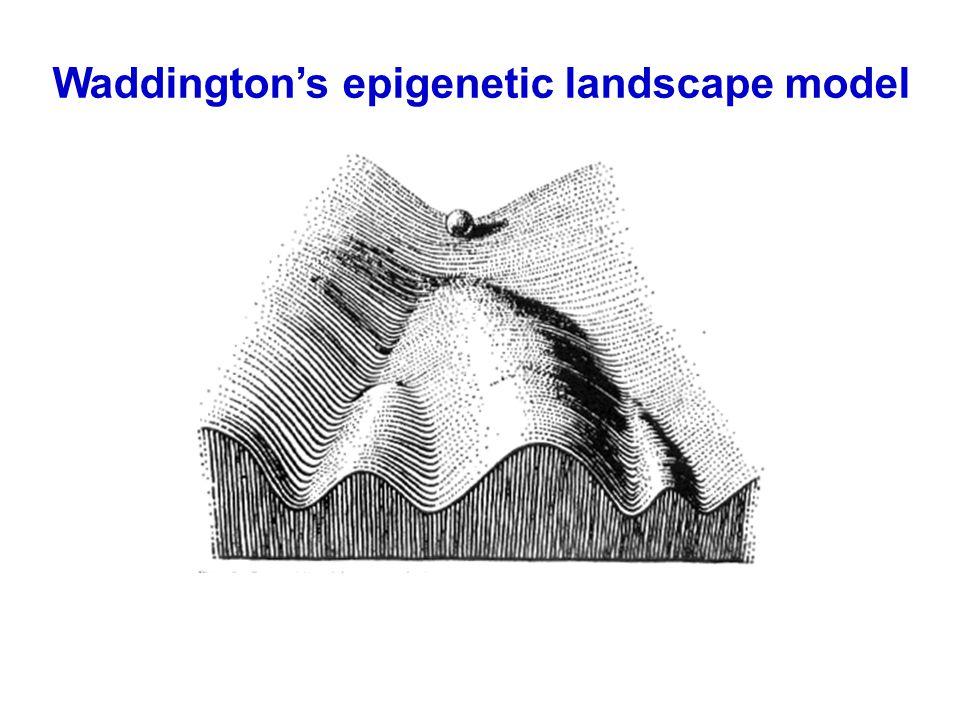 Waddington's epigenetic landscape model