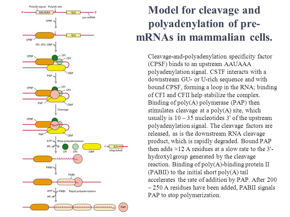 Model for cleavage and polyadenylation of pre- mRNAs in mammalian cells.