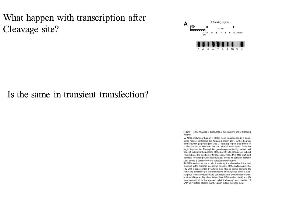 Is the same in transient transfection What happen with transcription after Cleavage site