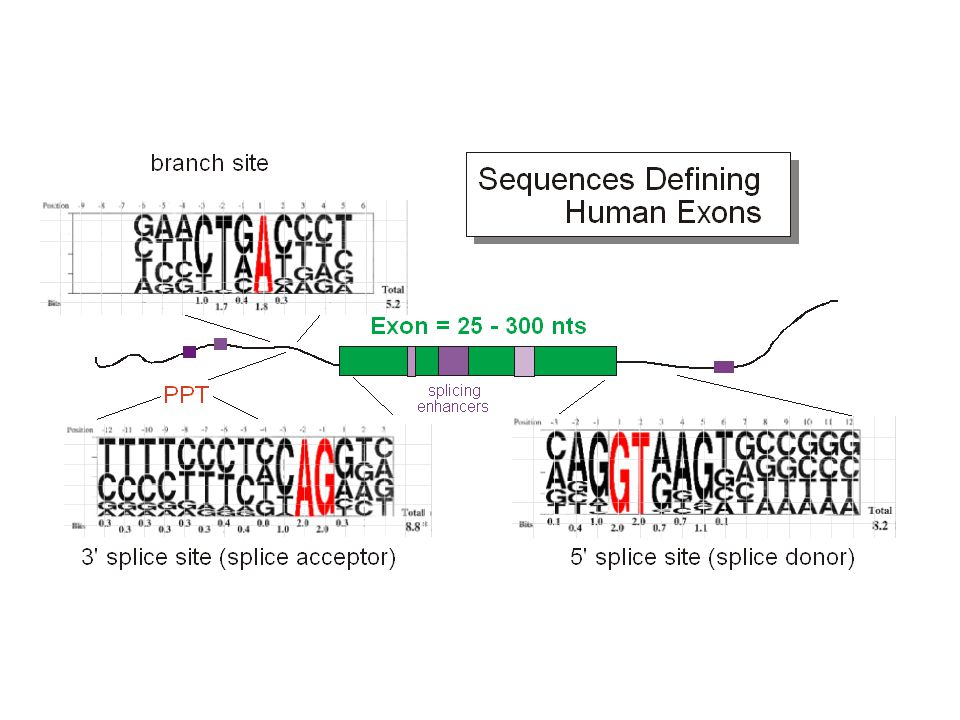 Mutations that disrupt splicing  o -thalassemia - no  -chain synthesis  + -thalassemia - some  -chain synthesis Normal splice pattern: Exon 1 Exon 2Exon 3 Intron 1 Intron 2 Donor site: /GUAcceptor site: AG/ Intron 2 acceptor site    mutation: no use of mutant site; use of cryptic splice site in intron 2 Exon 1 Exon 2 Intron 1 mutant site: GG/ Intron 2 cryptic acceptor site: UUUCUUUCAG/G Translation of the retained portion of intron 2 results in premature termination of translation due to a stop codon within the intron, 15 codons from the cryptic splice site