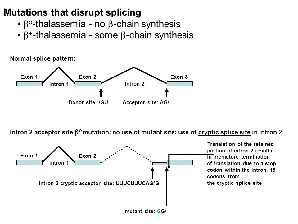 Mutations that disrupt splicing  o -thalassemia - no  -chain synthesis  + -thalassemia - some  -chain synthesis Normal splice pattern: Exon 1 Exon 2Exon 3 Intron 1 Intron 2 Donor site: /GUAcceptor site: AG/ Intron 2 acceptor site    mutation: no use of mutant site; use of cryptic splice site in intron 2 Exon 1 Exon 2 Intron 1 mutant site: GG/ Intron 2 cryptic acceptor site: UUUCUUUCAG/G Translation of the retained portion of intron 2 results in premature termination of translation due to a stop codon within the intron, 15 codons from the cryptic splice site