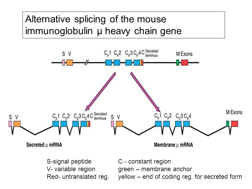 Alternative splicing of the mouse immunoglobulin μ heavy chain gene S-signal peptide C - constant region V- variable region green – membrane anchor Red- untranslated reg.