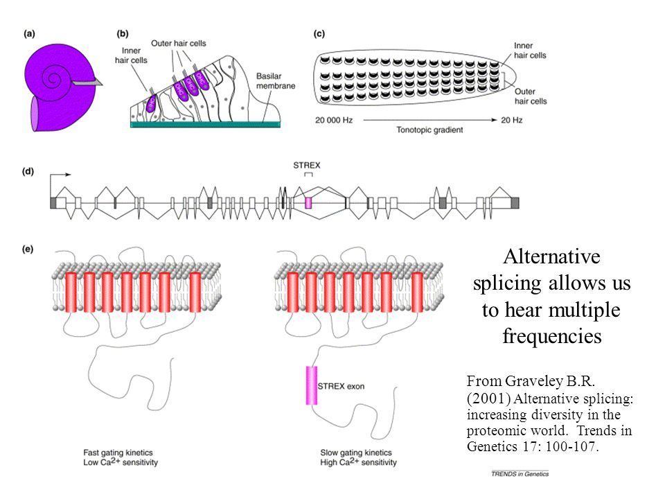Alternative splicing allows us to hear multiple frequencies From Graveley B.R. (2001) Alternative splicing: increasing diversity in the proteomic worl