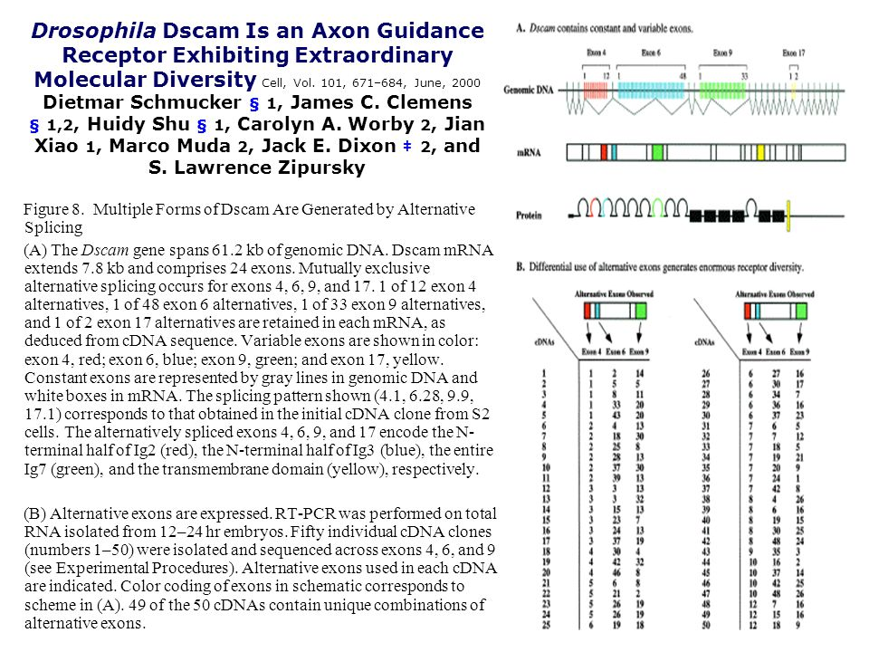 Drosophila Dscam Is an Axon Guidance Receptor Exhibiting Extraordinary Molecular Diversity Cell, Vol.