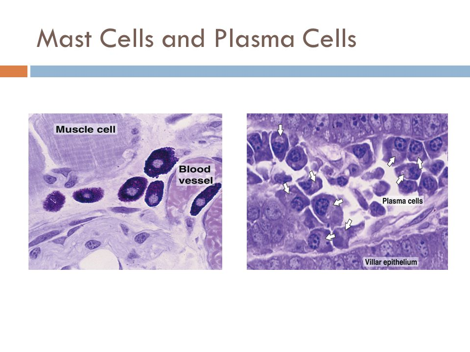 Mast Cells and Plasma Cells