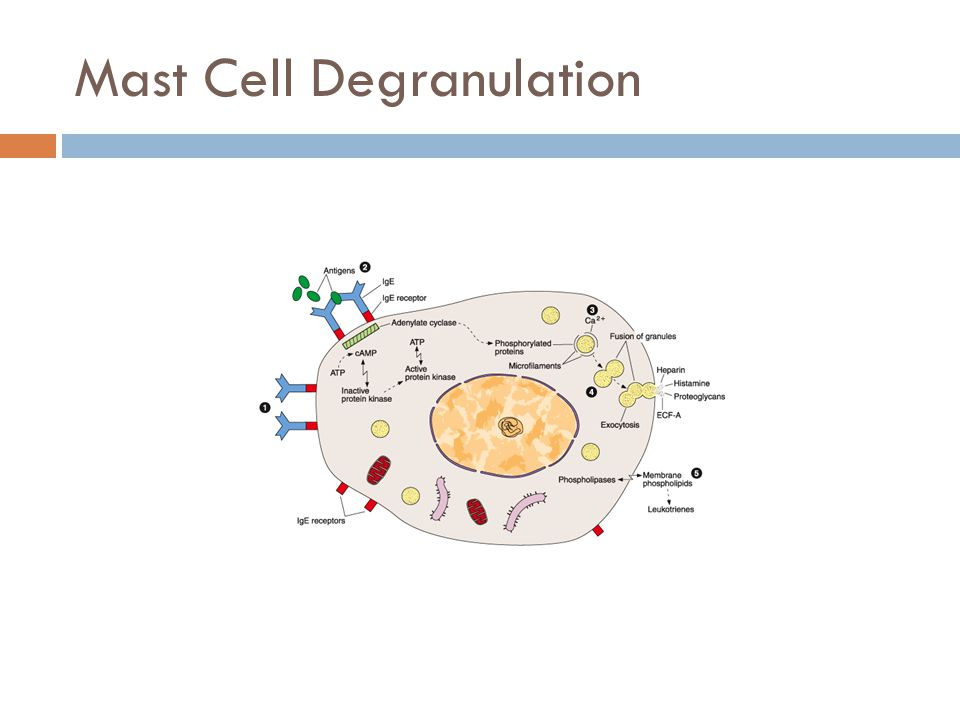 Mast Cell Degranulation