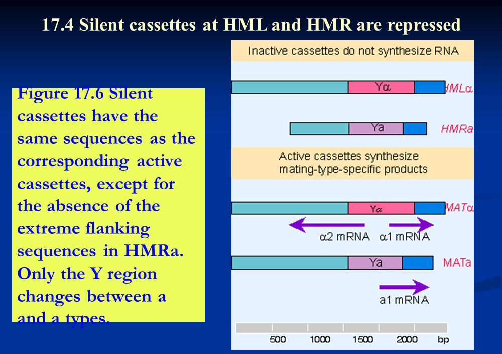 Figure 17.6 Silent cassettes have the same sequences as the corresponding active cassettes, except for the absence of the extreme flanking sequences i