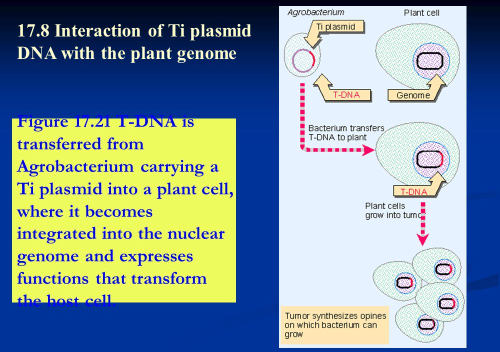Figure 17.21 T-DNA is transferred from Agrobacterium carrying a Ti plasmid into a plant cell, where it becomes integrated into the nuclear genome and