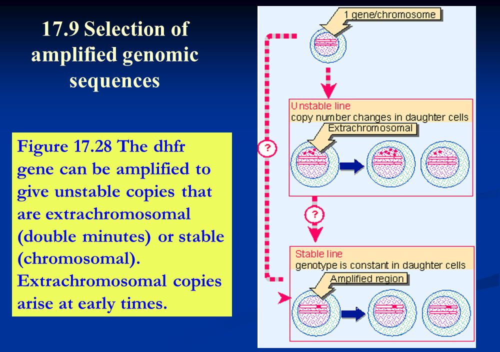 Figure 17.28 The dhfr gene can be amplified to give unstable copies that are extrachromosomal (double minutes) or stable (chromosomal). Extrachromosom