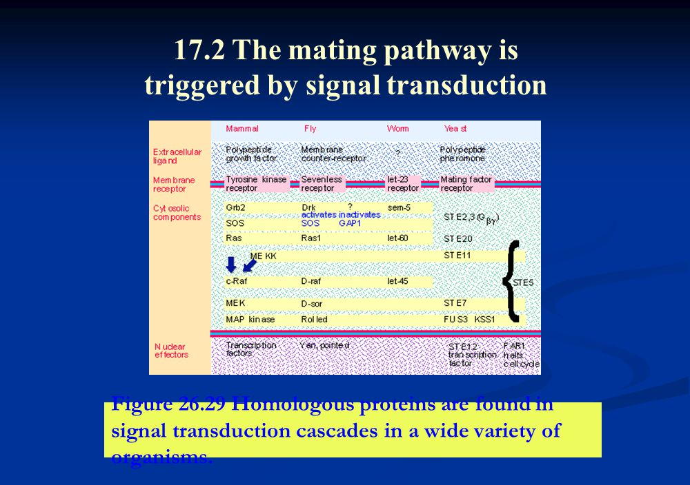 Figure 26.29 Homologous proteins are found in signal transduction cascades in a wide variety of organisms. 17.2 The mating pathway is triggered by sig