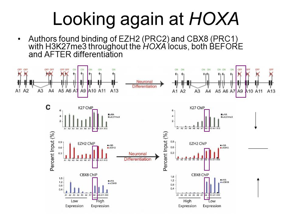 Looking again at HOXA Authors found binding of EZH2 (PRC2) and CBX8 (PRC1) with H3K27me3 throughout the HOXA locus, both BEFORE and AFTER differentiation