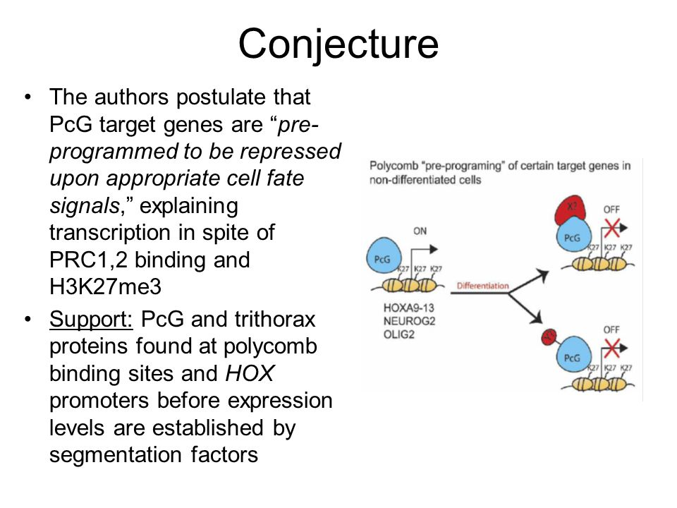 Conjecture The authors postulate that PcG target genes are pre- programmed to be repressed upon appropriate cell fate signals, explaining transcription in spite of PRC1,2 binding and H3K27me3 Support: PcG and trithorax proteins found at polycomb binding sites and HOX promoters before expression levels are established by segmentation factors