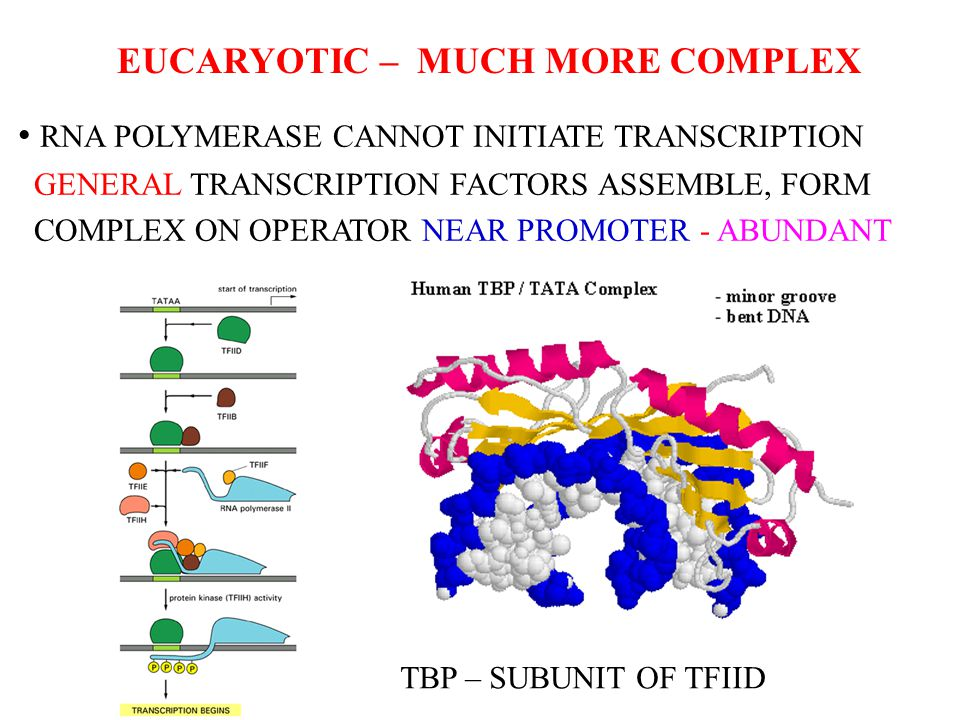 EUCARYOTIC – MUCH MORE COMPLEX RNA POLYMERASE CANNOT INITIATE TRANSCRIPTION GENERAL TRANSCRIPTION FACTORS ASSEMBLE, FORM COMPLEX ON OPERATOR NEAR PROM