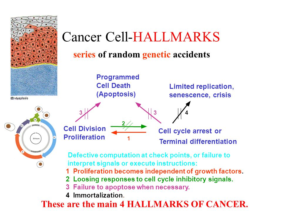 Cancer Cell-HALLMARKS Cell Division Proliferation Cell cycle arrest or Programmed Cell Death (Apoptosis) Limited replication, senescence, crisis Termi