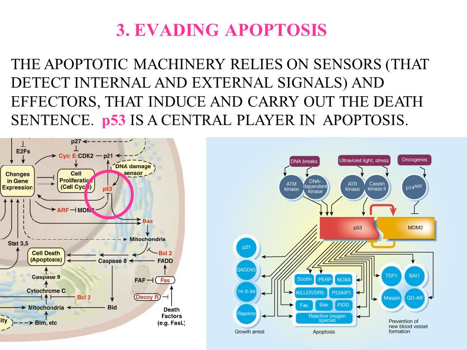 3. EVADING APOPTOSIS THE APOPTOTIC MACHINERY RELIES ON SENSORS (THAT DETECT INTERNAL AND EXTERNAL SIGNALS) AND EFFECTORS, THAT INDUCE AND CARRY OUT TH