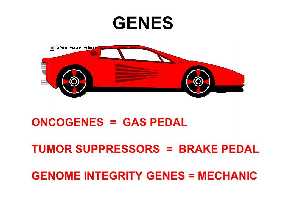 GENES ONCOGENES = GAS PEDAL TUMOR SUPPRESSORS = BRAKE PEDAL GENOME INTEGRITY GENES = MECHANIC