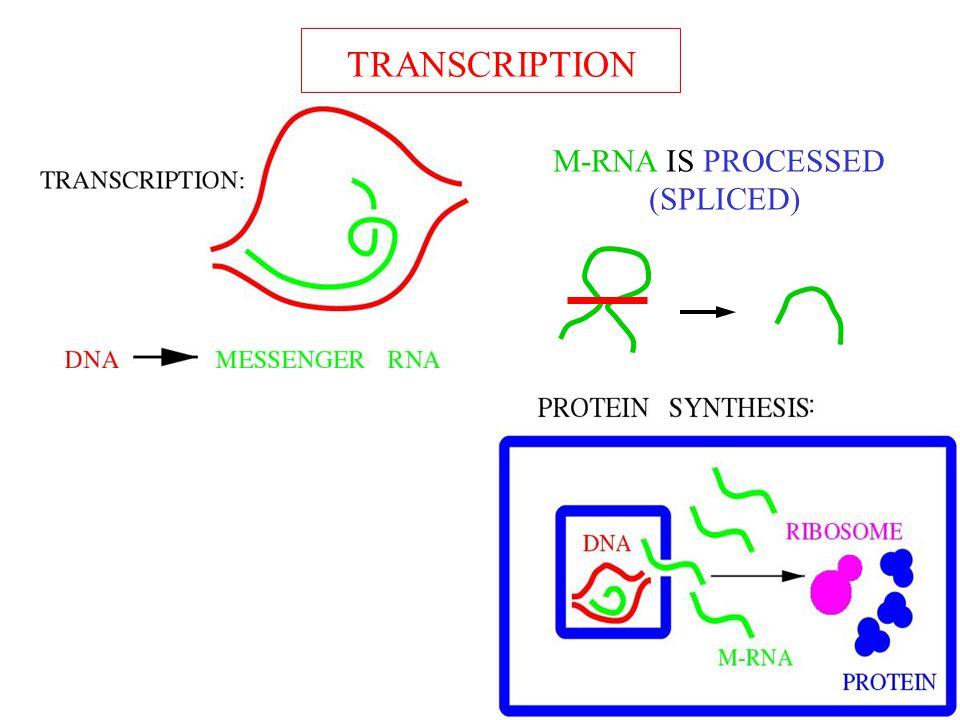 TRANSCRIPTION Transcription M-RNA IS PROCESSED (SPLICED)