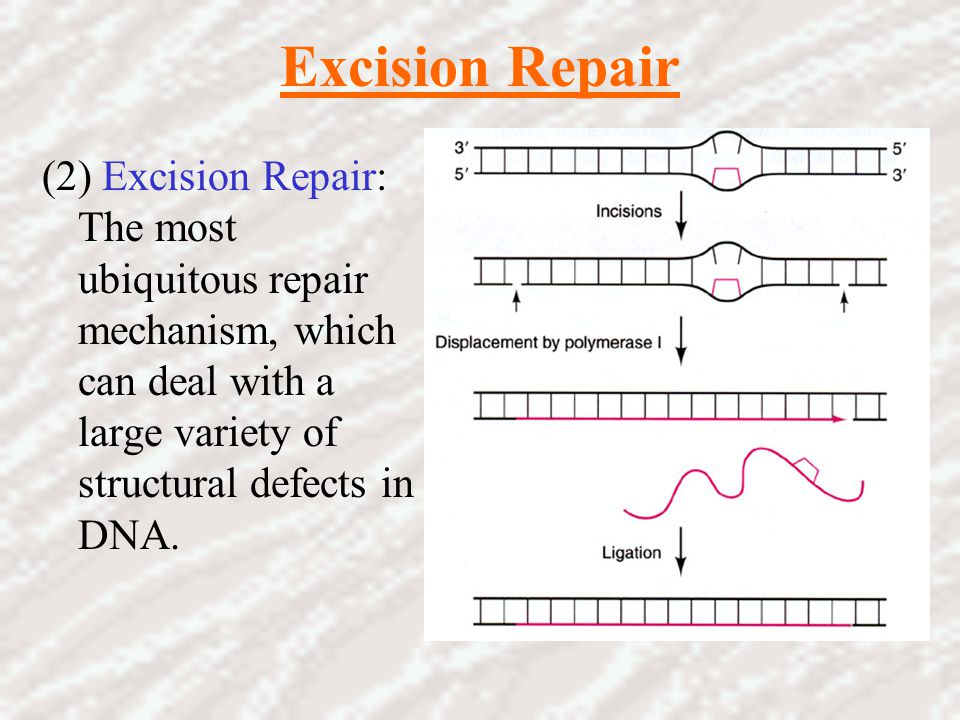 Excision Repair (2) Excision Repair: The most ubiquitous repair mechanism, which can deal with a large variety of structural defects in DNA.