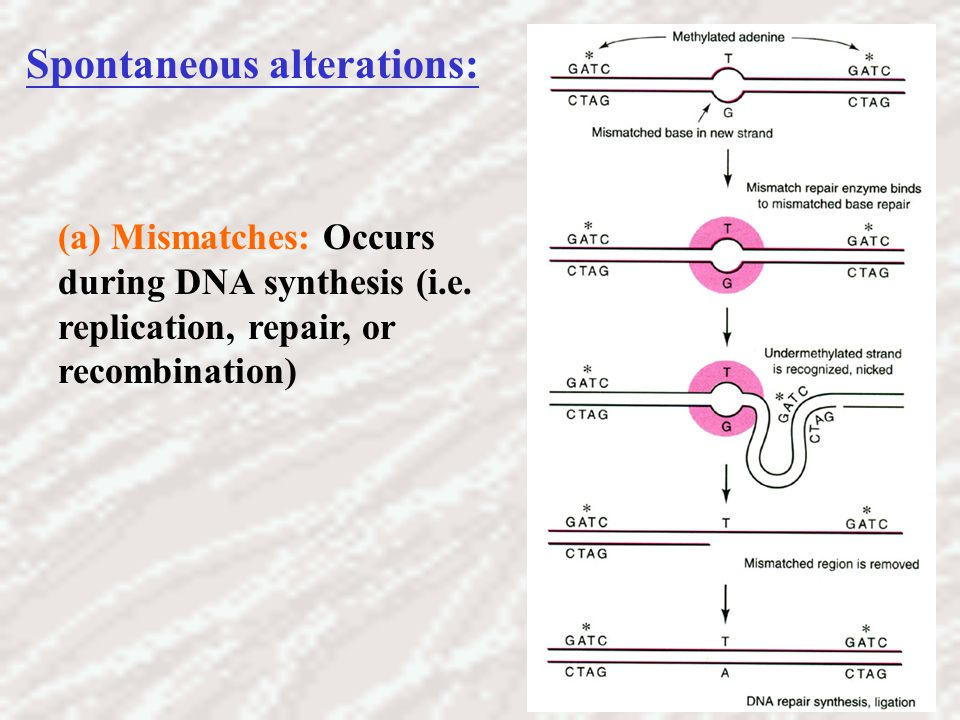 (a) Mismatches: Occurs during DNA synthesis (i.e. replication, repair, or recombination) Spontaneous alterations: