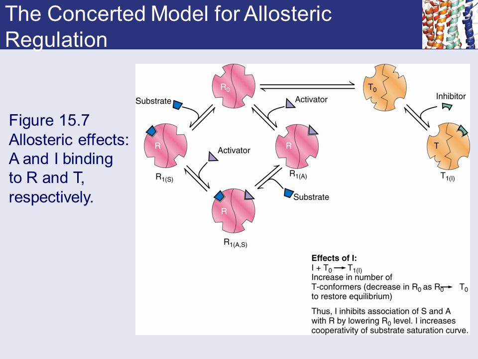 Figure 15.7 Allosteric effects: A and I binding to R and T, respectively. The Concerted Model for Allosteric Regulation
