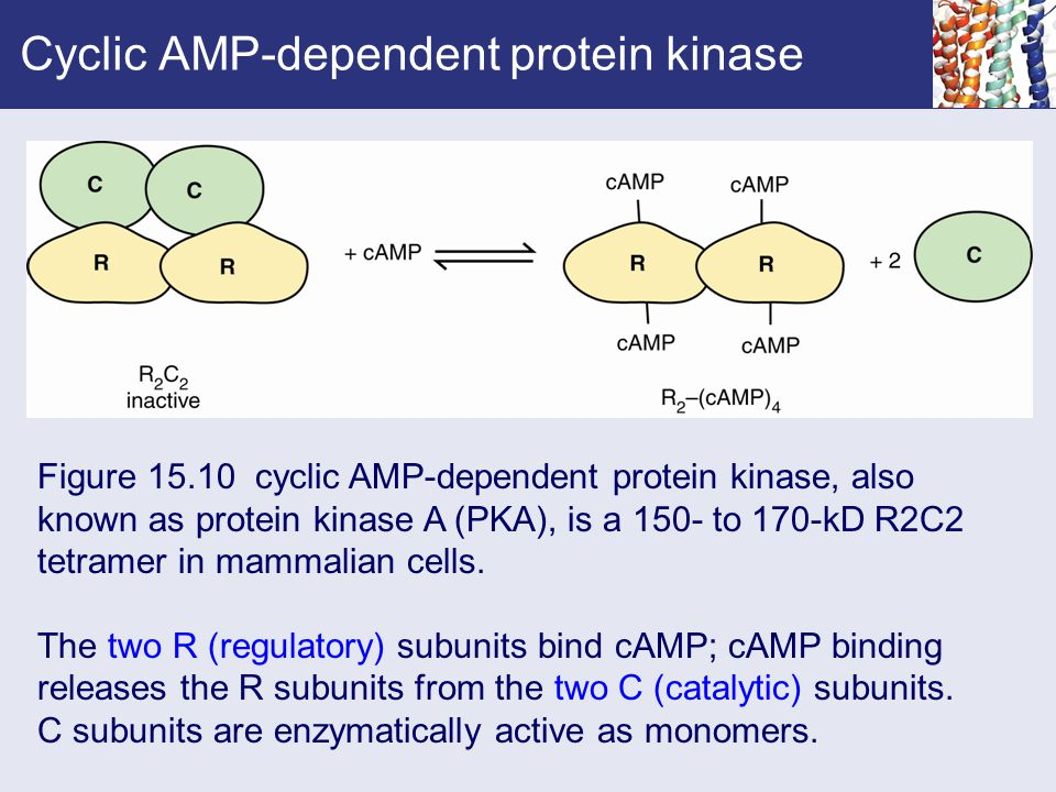 Cyclic AMP-dependent protein kinase Figure 15.10 cyclic AMP-dependent protein kinase, also known as protein kinase A (PKA), is a 150- to 170-kD R2C2 t