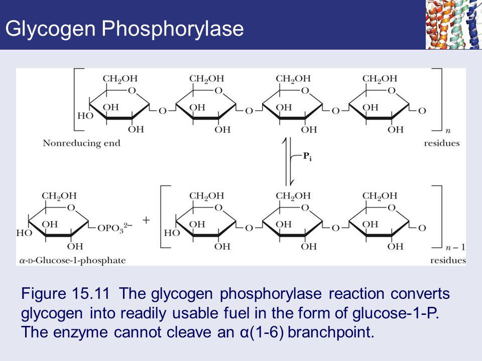 Glycogen Phosphorylase Figure 15.11 The glycogen phosphorylase reaction converts glycogen into readily usable fuel in the form of glucose-1-P. The enz