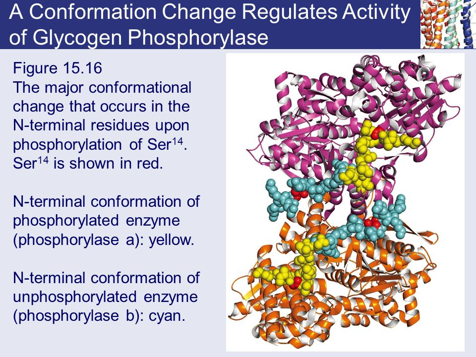 A Conformation Change Regulates Activity of Glycogen Phosphorylase Figure 15.16 The major conformational change that occurs in the N-terminal residues