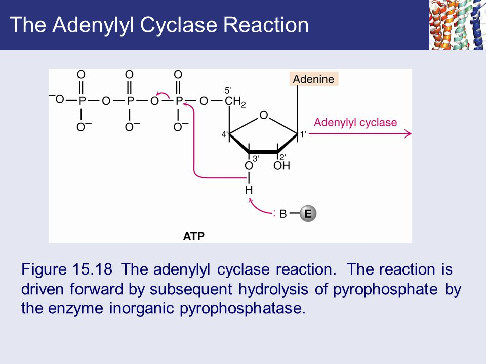 The Adenylyl Cyclase Reaction Figure 15.18 The adenylyl cyclase reaction. The reaction is driven forward by subsequent hydrolysis of pyrophosphate by